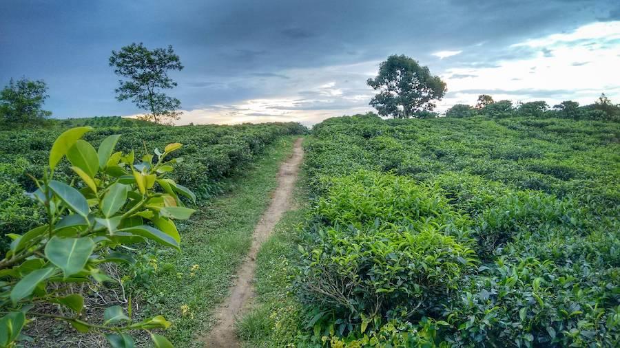 plantation de theiers